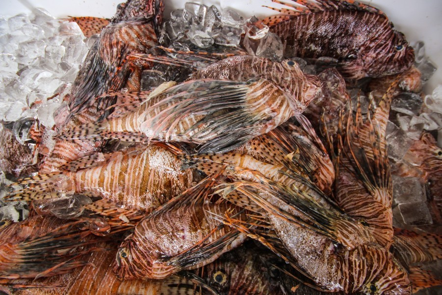 Lionfish caught during the Sarasota Lionfish Derby are on ice during the culminating event on July 10 at Mote Marine Laboratory.