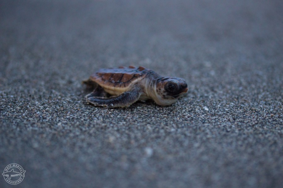 Sea turtle nesting season ended Oct. 31 in Florida.