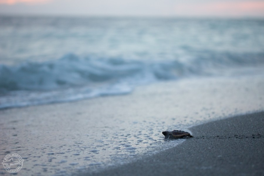 Hatchling on Turtle Beach. Photo: Conor Goulding / Mote. All activities conducted under FWC Marine Turtle Permit guidelines.