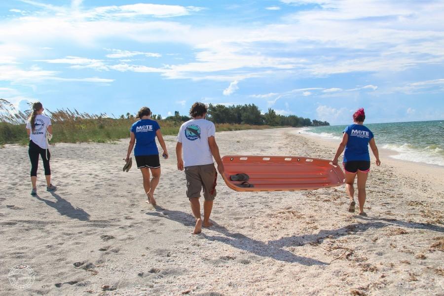 Mote's Stranding Investigation Program responds to a loggerhead stranding. Credit Conor Goulding / Mote