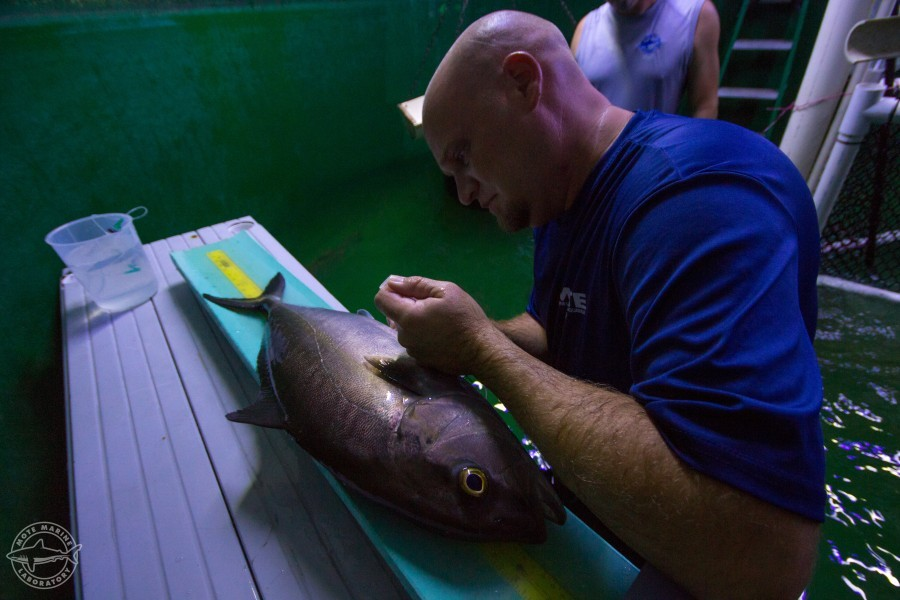 Senior Biologist Matt Resley works with almaco jack during a sampling session. (By Conor Goulding/Mote Marine Lab)