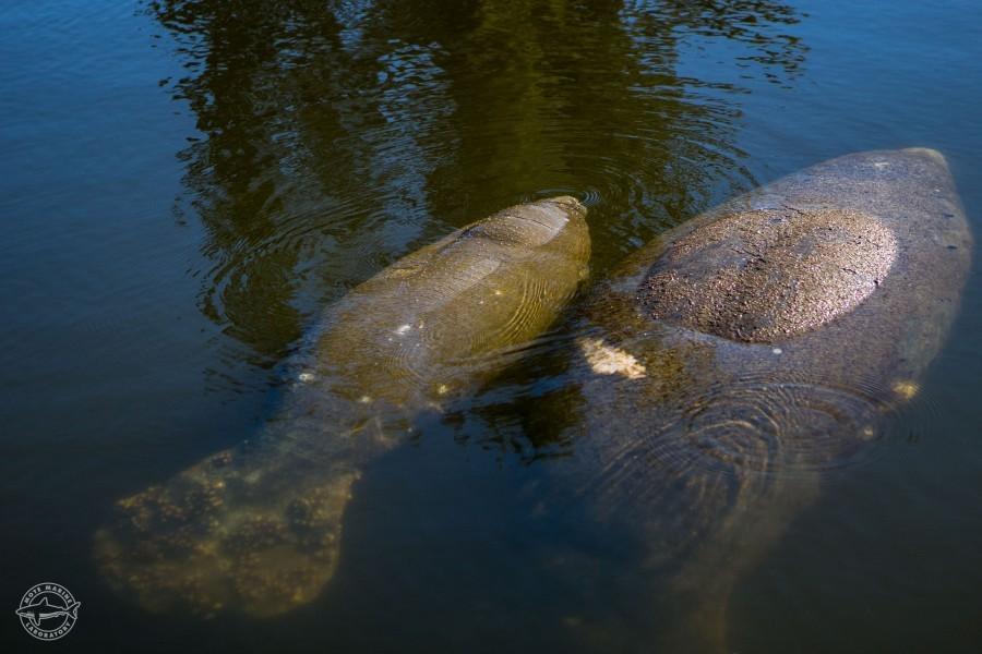 Florida manatees. Credit: Conor Goulding/Mote Marine Laboratory