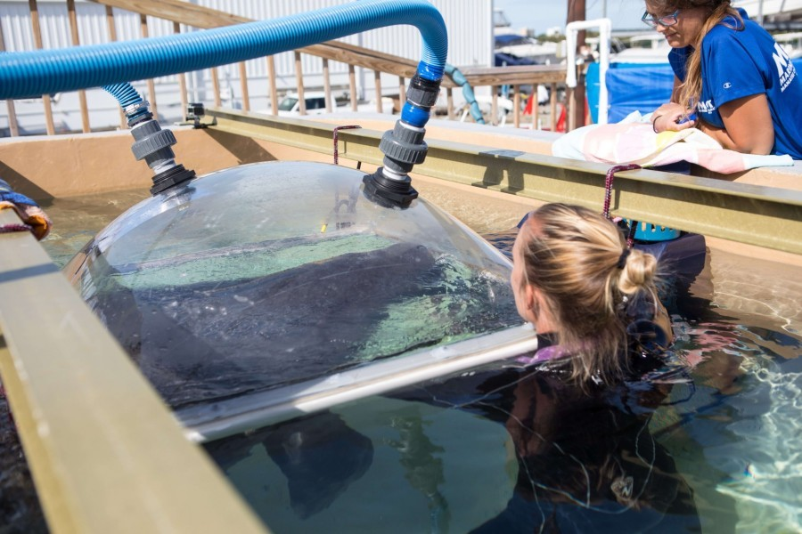 Mote's Kat Boerner guides resident manatee under dome to record oxygen consumption. Credit Conor Goulding/Mote Marine Laboratory