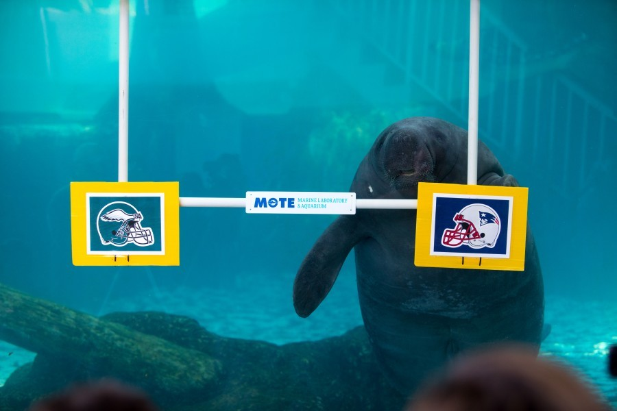 Mote's resident manatees, Hugh and Buffett, predicted the winner of this weekend's big game for the 11th year.