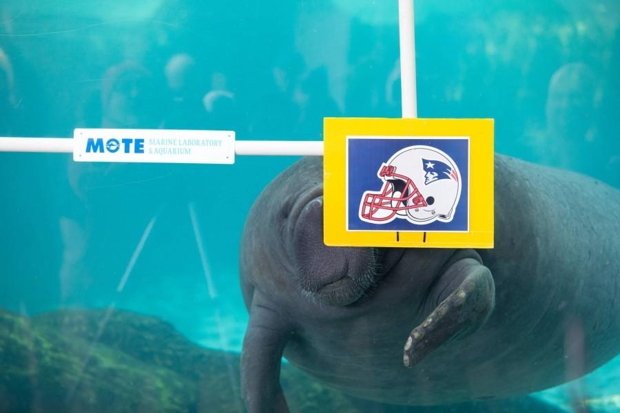 Manatee Buffett picked the New England Patriots!
