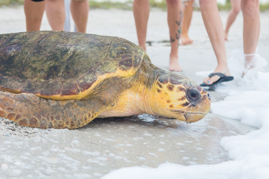 Ms. Marker, a subadult loggerhead sea turtle, makes its way to the water. Credit: Conor Goulding / Mote Marine Lab