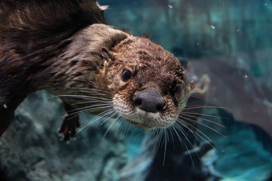 North American river otter at Mote Aquarium. Credit Conor Goulding/Mote Marine Laboratory