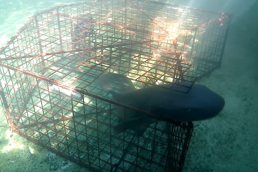 Nurse shark uses escape hatch being tested in lobster trap study. Credit Dr. Rob Nowicki/Mote Marine Lab