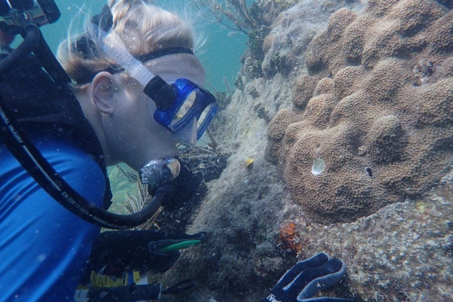 Dr. Hanna Koch visits Mote's restored mountainous star coral. Credit: Mote Marine Laboratory & Aquarium