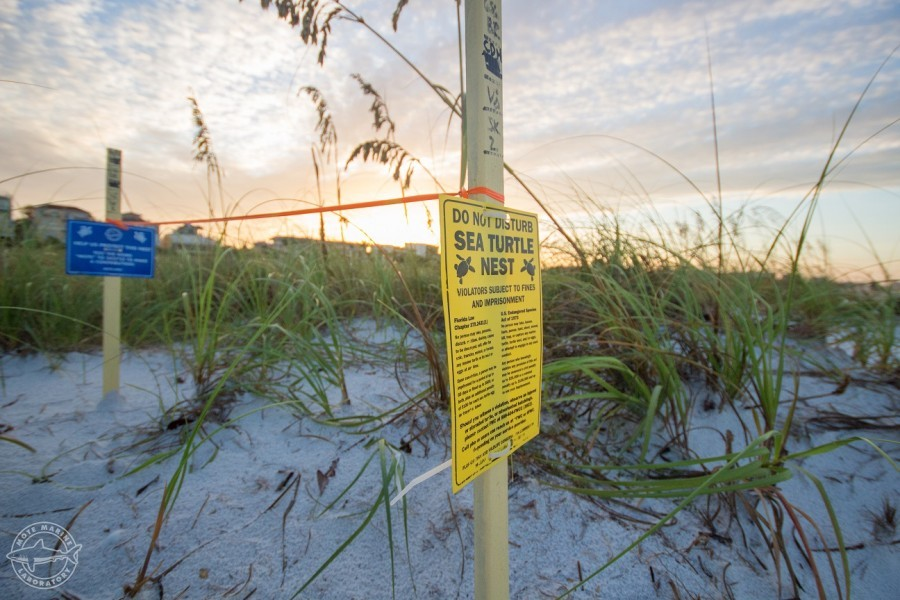 Sea turtle nest marked off by Mote sea turtle program. Credit Conor Goulding Mote Marine Laboratory
