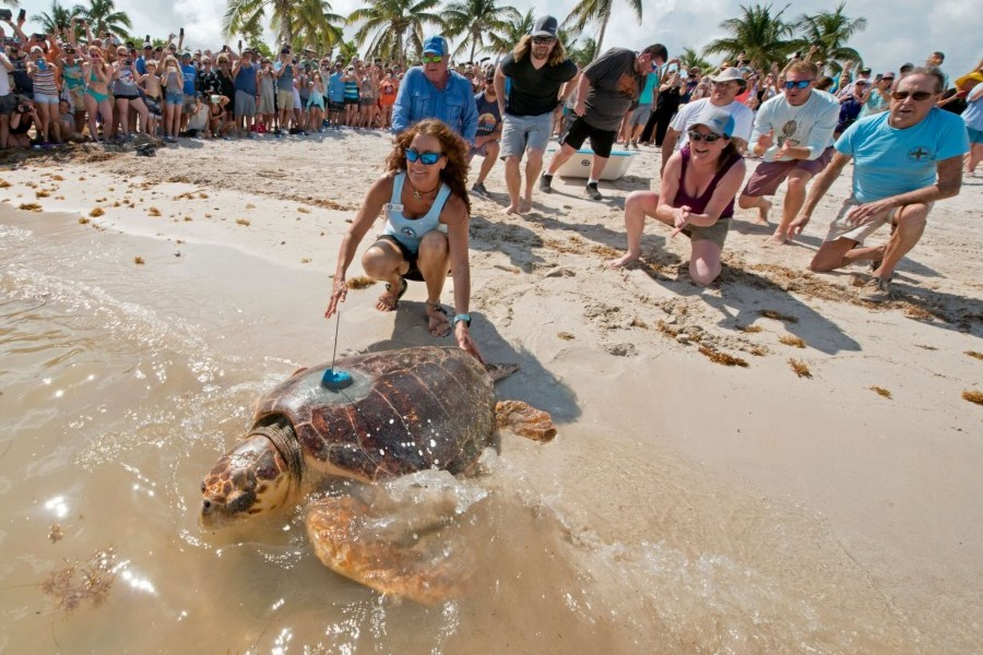 Mr. T was released on May 7, 2019 on Marathon in the Florida Keys. Photo: Andy Newman/Florida Keys News Bureau