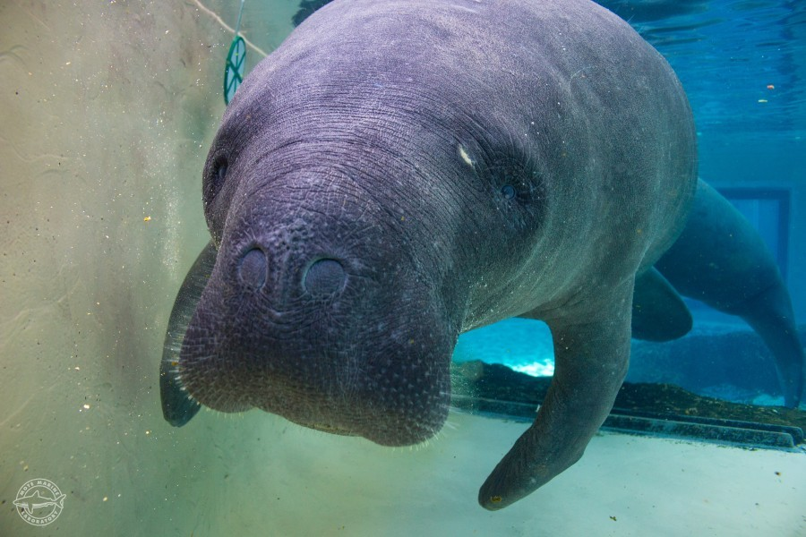 Photo: Resident Mote Manatee. Credit: Conor Goulding/Mote Marine Laboratory.