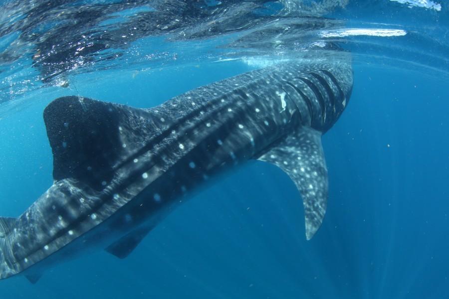 Whale shark Rio Lady
