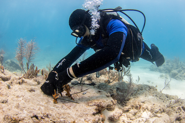 Mote scientist Erich Bartels plants a coral fragment onto a reef. Photo credit: Conor Goulding / Mote Marine Laboratory