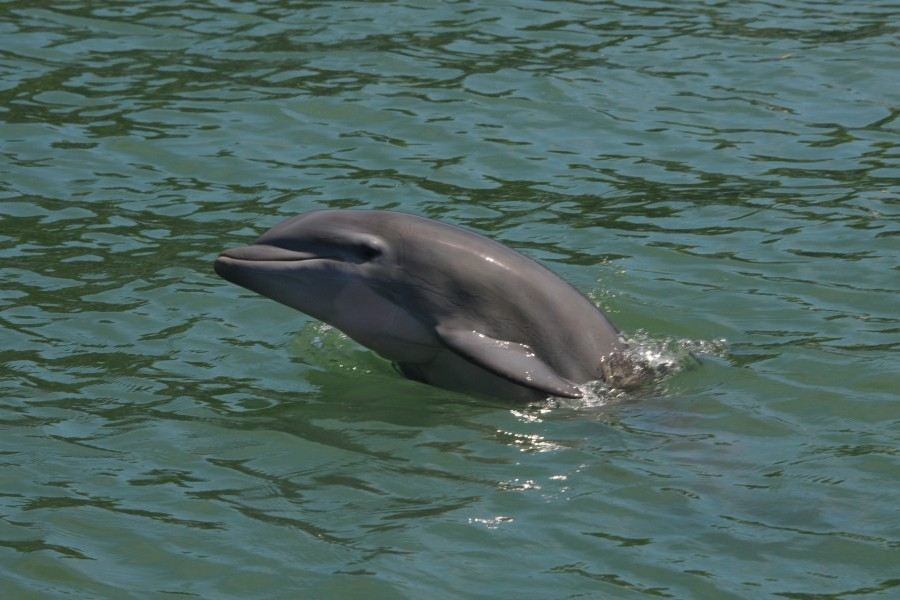 Photo taken by the CZS's Sarasota Dolphin Research Program under NMFS Scientific Research Permit No. 20455