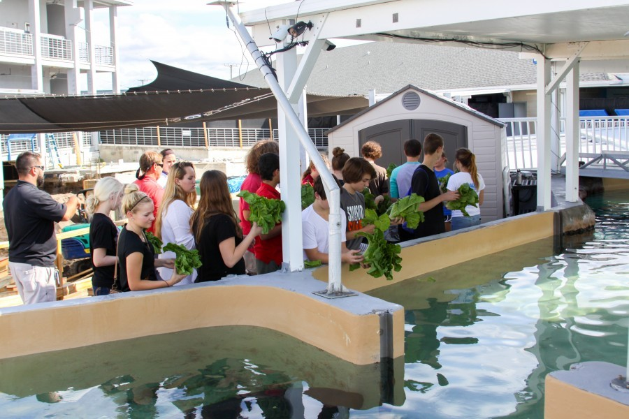 From farm to feed, students grow food for Mote's manatees