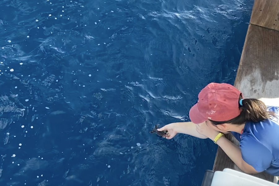 Mote staff release hatchlings offshore