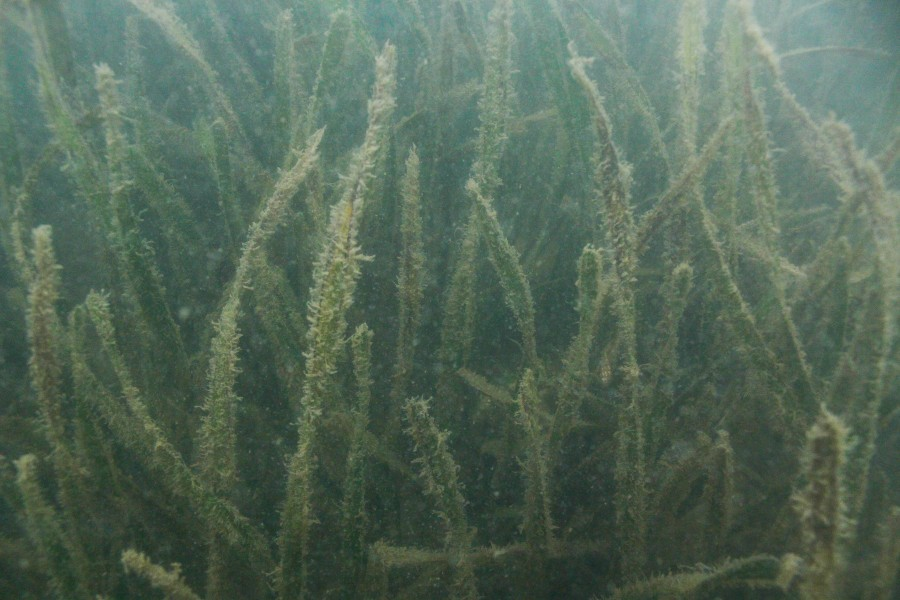 The seagrass Thalassia testudinum (ital.) and the