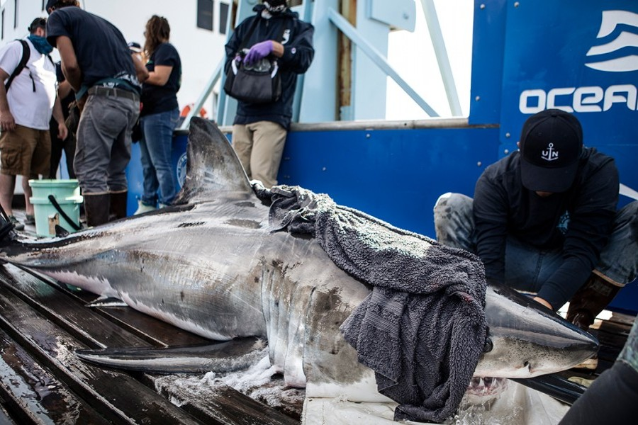 White shark Andromache is tagged, sampled and released. Credit: OCEARCH / Chris Ross