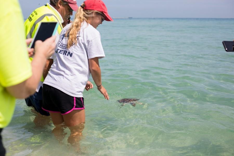 Mote intern Caitlyn Byers and volunteers from AMI Turtle Watch cheer as green sea turtle