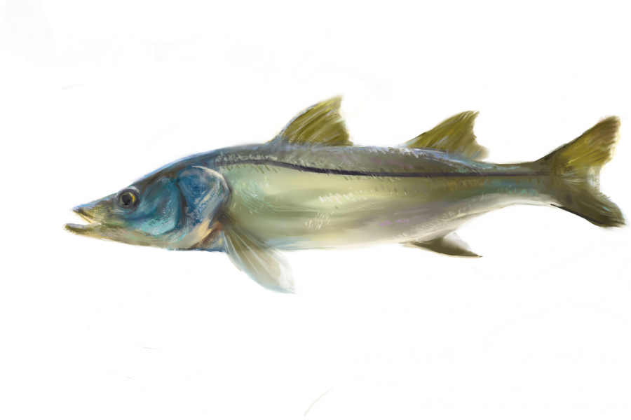 Common snook illustration by Hayley Rutger