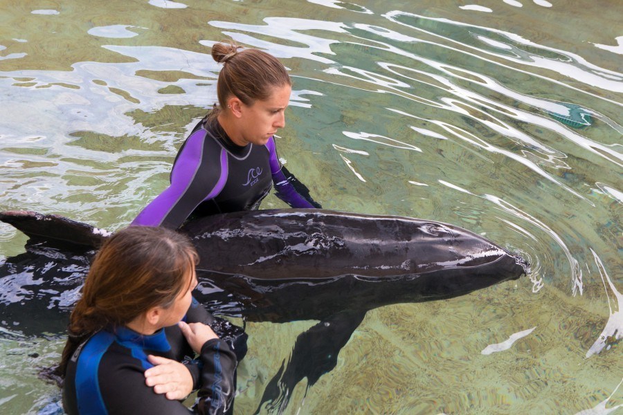 Bolt, a recently rescued melon-headed whale, in a medical pool at Mote. Credit: Conor Goulding/Mote Marine Laboratory