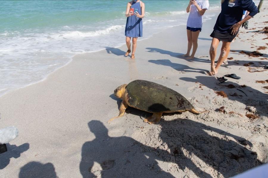 Female loggerhead sea turtle Joyce crawling toward the water during her release
