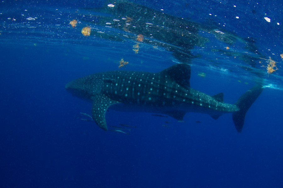 Minnie the whale shark Credit: Conor Goulding/Mote Marine Laboratory