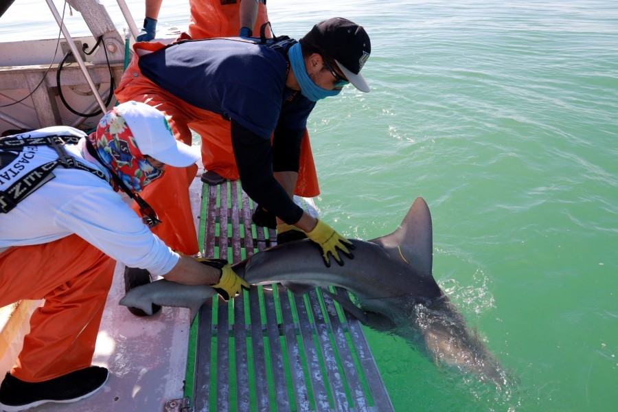 Photo: A shark is caught, tagged and released by Mote scientists and partners. Credit: Cameron McPhail/Mote Marine Laboratory