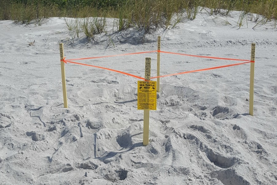 Sea turtle nesting season officially runs from May 1-Oct. 31 in southwest Florida. Credit: Susan Gaillard/Mote Marine Laboratory