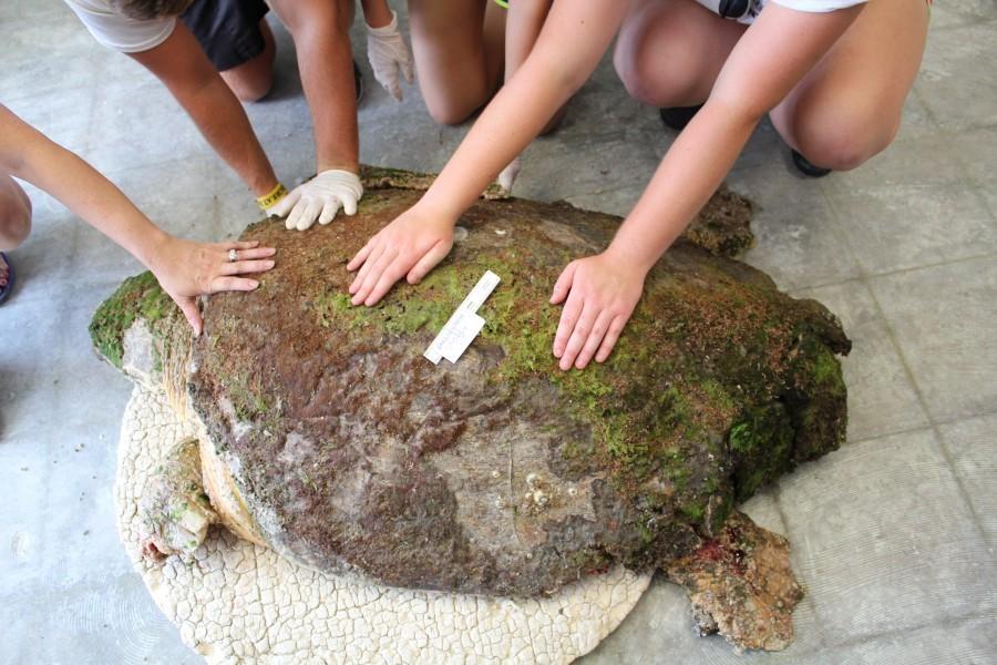 Loggerhead sea turtle rescued in Lyons Bay