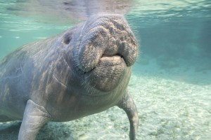 Bewhiskered manatee. Credit Wayne Lynch.