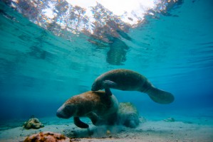 Manatees pictured underwater at the Mote Aquarium in Sarasota