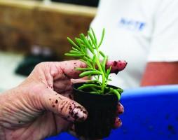 A saltwort seedling.