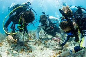 SCUBAnaut Trevor Ray, 13, of Palm Harbor, Justin Lansford and SCUBAnaut Diana Phillips, 14, of Largo, plant staghorn corals.