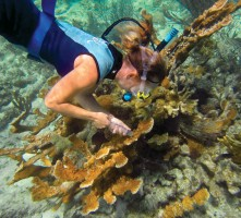 Dr. Erinn Muller takes a sample of an elk horn coral.
