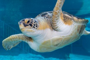 Harry the green sea turtle at the Mote Aquarium in Sarasota