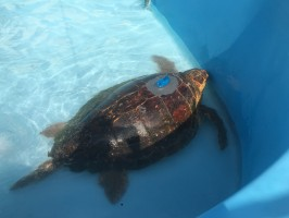 Mr. T, a recently rehabilitated and released sea turtle, in his rehab pool at The Turtle Hospital with his new satellite transmitter.