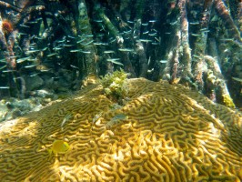 Large-grooved brain coral nested within mangroves. Credit: Constance Sartor