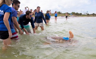 Erick, an adult male loggerhead sea turtle, is released in 2018 from a St. Petersburg beach with a satellite tag attached to his carapace. Two years later, Erick's tag is still providing important data! Photo by: Conor Goulding/Mote