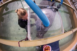 Senior Mote Aquarium Biologist Kat Boerner works with resident manatee under a dome for documenting oxygen consumption. Credit Conor Goulding/Mote Marine Laboratory.