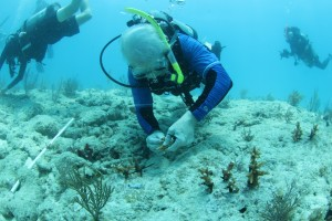Mote President & CEO, Dr. Michael P. Crosby plants a staghorn coral fragment on Hero's Reef
