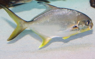 Pompano is one of the fish species being studied in Mote's latest research related to the Deepwater Horizon oil spill.