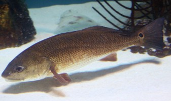 Red drum is one of the fish species being studied in Mote's latest research related to the Deepwater Horizon oil spill.