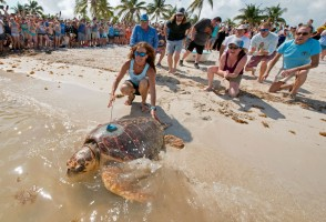 Mr. T, an adult male loggerhead, is released from a beach in the Florida Keys. Mote's sea turtle program worked with The Turtle Hospital in Marathon to attach a satellite tag prior to his release. Photo by: Andy Newman/Florida Keys News Bureau