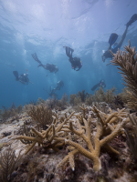 SCUBAnauts and Combat Wounded Veterans swim off after completing their successful mission to plant fragments of staghorn coral near Looe Key reef on Monday, July 20, 2015. A staghorn coral that was planted during a previous year's mission is shown in