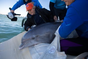 Salem is released several miles off of north Anna Maria Island on Jan. 28, 2019. Credit Conor Goulding/Mote Marine Laboratory
