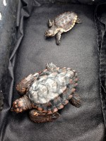 Two sea turtle hatchlings are ready to return to the wild on Oct. 30 after being rehabilitated at Mote Marine Laboratory.