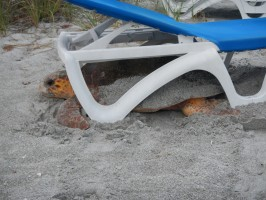 A sea turtle was found trapped under a chair Thursday, June 12 on Longboat Key and was freed by specially trained volunteers with Longboat Key Turtle Watch, a subgroup of volunteers in Mote Marine Lab's Sea Turtle Patrol. (photo credit: Mike Herron)