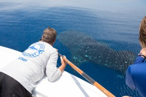 Senior Biologist at Mote, Jack Morris, tags a whale shark. Credit: Conor Goulding/Mote Marine Laboratory